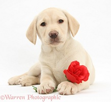 Yellow Labrador Retriever pup lying with a red rose