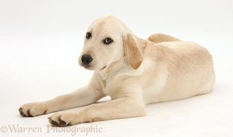 Yellow Labrador Retriever pup