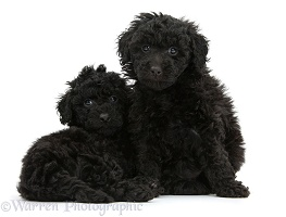 Two black toy Labradoodle puppies