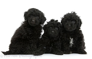 Three black toy Labradoodle puppies