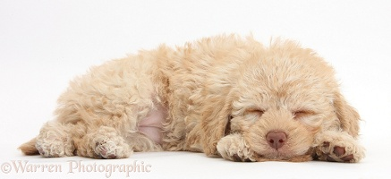 Cute sleepy toy Labradoodle puppy