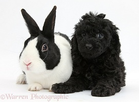 Toy Labradoodle with rabbit