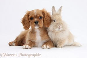 Ruby Cavalier pup and fluffy bunny