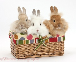 Three Lionhead-cross Bunnies in a basket
