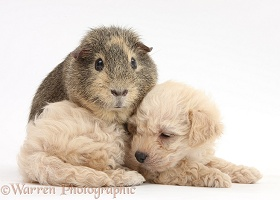 Cute Bichon x Yorkie pup and Guinea pig