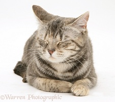 Tabby cat dozing