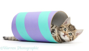 Cute tabby kitten playing with a tube