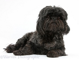 Black Shih-tzu bitch