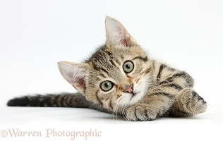 Tabby kitten rolling playfully