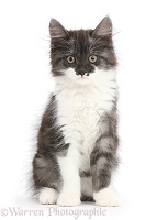 Dark silver-and-white kitten, sitting