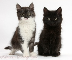 Black and dark silver-and-white kittens, sitting