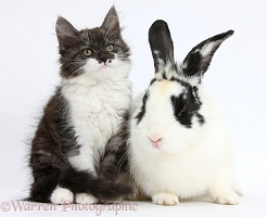 Fluffy silver-and-white kitten and rabbit