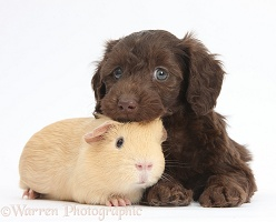Cute chocolate Daxiedoodle puppy and yellow Guinea pig