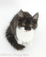 Dark silver-and-white kitten, sitting and looking up