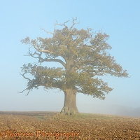 Ockley oak - Autumn with mist