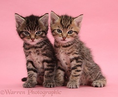 Cute tabby kittens, 6 weeks old, on pink background