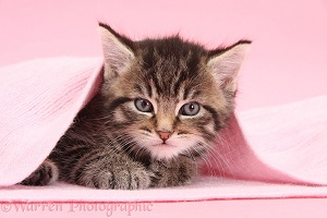 Cute tabby kitten, 6 weeks old, under a pink scarf