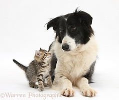 Cute tabby kitten and Black-and-white Border Collie