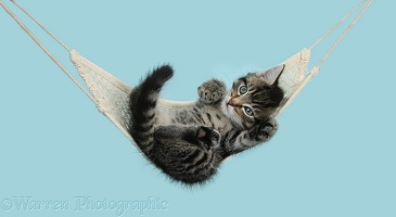Cute tabby kitten in a hammock