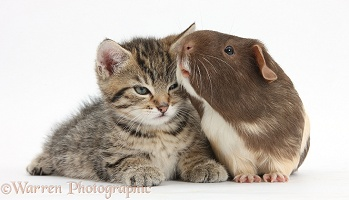 Cute tabby kitten and Guinea pig
