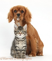 Cute tabby kitten and Ruby Cavalier Spaniel