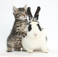 Cute tabby kitten and black-and-white rabbit