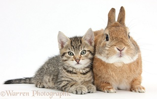 Cute tabby kitten with rabbit