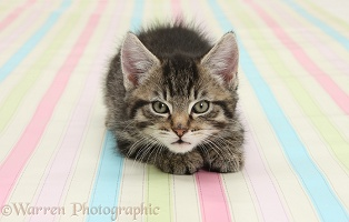 Cute tabby kitten, crouching on stripy background