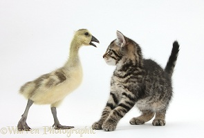Cute tabby kitten with yellow gosling