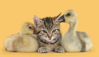 Cute tabby kitten with yellow goslings