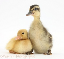 Yellow Call Duckling and Mallard Duckling