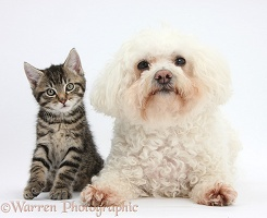 Cute tabby kitten with Bichon Frise