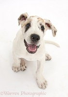 Great Dane puppy, sitting and looking up