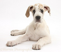 Great Dane puppy, lying with head up