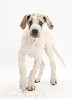 Great Dane puppy, walking