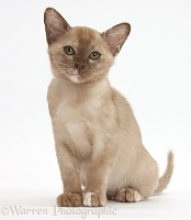 Burmese kitten sitting