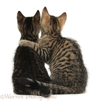 Tabby kittens sitting together arm-in-arm