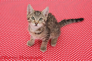 Tabby kitten, sitting on red background