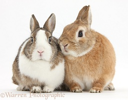 Netherland dwarf-cross rabbits