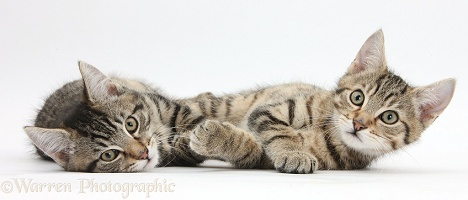 Tabby kittens lying on their sides together