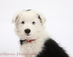 Black-and-white Border Collie pup