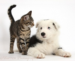 Tabby kitten and Black-and-white Border Collie pup