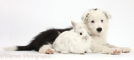 Border Collie pup with baby bunny