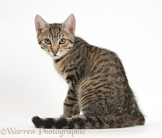 Tabby kitten looking over his shoulder