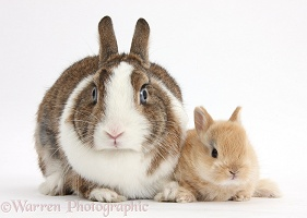 Netherland Dwarf rabbit and baby bunny