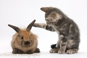 Tabby kitten with young rabbit
