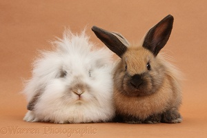 Two different rabbits on brown background
