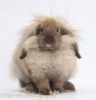 Comical Lionhead-Lop rabbit
