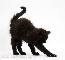Fluffy black kitten stretching