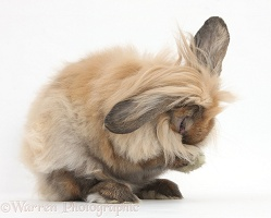 Lionhead-Lop rabbit washing himself